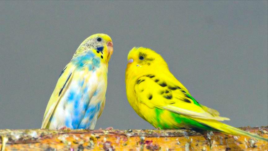 muhabbet kuşu bakımı nasıl yapılır
