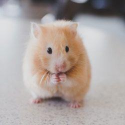 hamster-cetesi-nedir